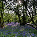 Bluebell Woods  by Gary Eason