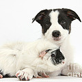 Border Collie Pup And Guinea Pig by Mark Taylor