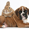 Boxer Puppy And Netherland-cross Rabbit by Mark Taylor