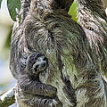 Brown-throated Three-toed Sloth by Suzi Eszterhas
