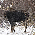 Bull Moose In Winter by Mark Duffy