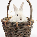 Bunny In A Basket by Mark Taylor