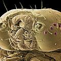 Caterpillar Head, Sem by Steve Gschmeissner