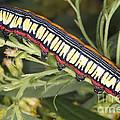 Caterpillar by Ted Kinsman