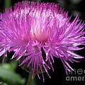Centaurea From The Sweet Sultan Mix by J McCombie