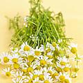 Chamomile Flowers by Elena Elisseeva