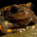 Chilean Mountains False Toad by Dant� Fenolio