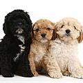 Cockerpoo Puppies by Mark Taylor
