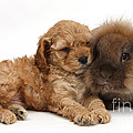 Cockerpoo Puppy And Rabbit by Mark Taylor