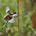 Dragonfly by Alan Hutchins