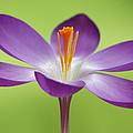 Dutch Crocus Crocus Vernus Flower by Silvia Reiche