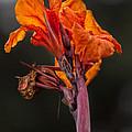 Dying Flower by Robert Ullmann