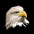 Eagle Profile Front by Steve McKinzie