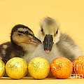 Embden X Greylag Gosling And Mallard by Mark Taylor
