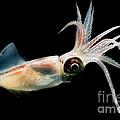 Eye Flash Squid by Dante Fenolio