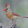 Female Cardinal by Dave Mills