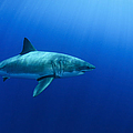 Female Great White Shark, Guadalupe by Todd Winner
