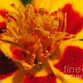 French Marigold Named Starfire by J McCombie