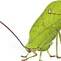 Giant Leaf Katydid Barbilla Np Costa by Piotr Naskrecki