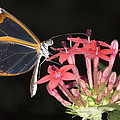 Glasswing Butterfly by Power And Syred