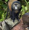 Golden Monkey by Tony Camacho