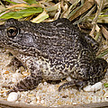 Gopher Frog by Dante Fenolio