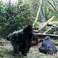 Gorillas by Carol Ailles