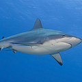 Gray Reef Shark. Papua New Guinea by Steve Jones