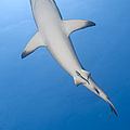 Gray Reef Shark With Remora, Papua New by Steve Jones