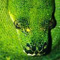Green Tree Python  by Paul Slebodnick