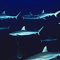 Grey Reef Sharks by Alexis Rosenfeld