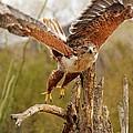 Harris Hawk by Tam Ryan