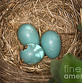 Hatching Robin Nestlings by Ted Kinsman