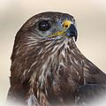 Hawk by Daniel Csoka