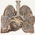 Heart And Lungs, Historical Illustration by