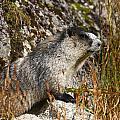 Hoary Marmot by Doug Lloyd