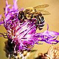 Honey Bee  by Elena Elisseeva