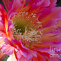 Hot Pink Cactus Flower by Jim And Emily Bush