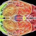 Human Brain Anatomy, Artwork by Pasieka
