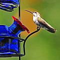 Hummer At The Feeder by Lynn Bauer