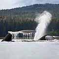 Humpback Whale Megaptera Novaeangliae by Konrad Wothe
