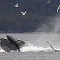 Humpback Whale Megaptera Novaeangliae by Matthias Breiter