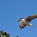 Juvenile Herring Gull by Tony Murtagh