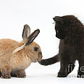 Kitten And Young Rabbit by Mark Taylor