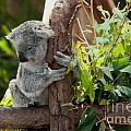 Koala by Carol Ailles