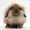 Lionhead-lop Rabbit by Mark Taylor