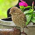Little Girl Finch by Debbie Portwood