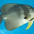 Longfin Spadefish, Papua New Guinea by Steve Jones