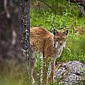 Lynx by Heiko Koehrer-Wagner