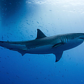 Male Great White Shark, Guadalupe by Todd Winner